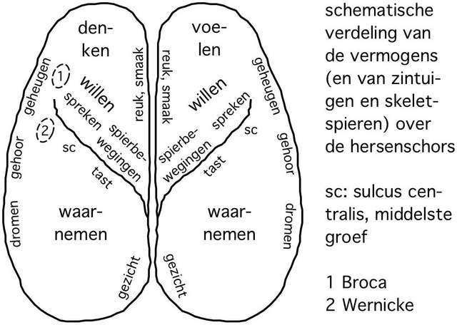 Illustratie 'De vermogens van hersenschors' van Freek van Leeuwen in De Evolutiegids